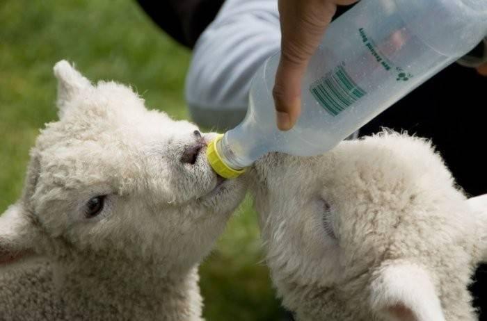 Кормление овец и баранов в разном возрасте. чем кормить овец и баранов в домашних условиях