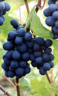 Виноград шахтер - описание сорта, как вырастить сорт шахтер