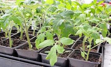 Когда сажать рассаду помидоров в сибири - про сорта