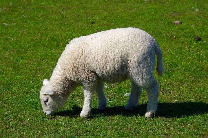 Кормление овец в домашних условиях