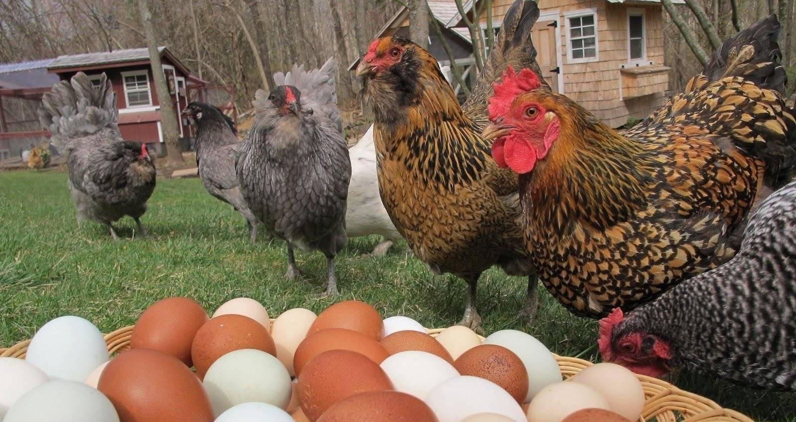 Куры-несушки: лучшие породы для дома и разведения в домашних условиях, самые продуктивные яичные