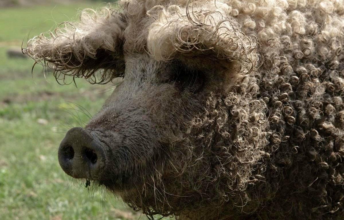 Свинья мангал — описание породы, характеристики, условия содержания. | cельхозпортал