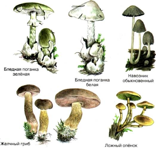 Шляпочные грибы: строение, питание и размножение