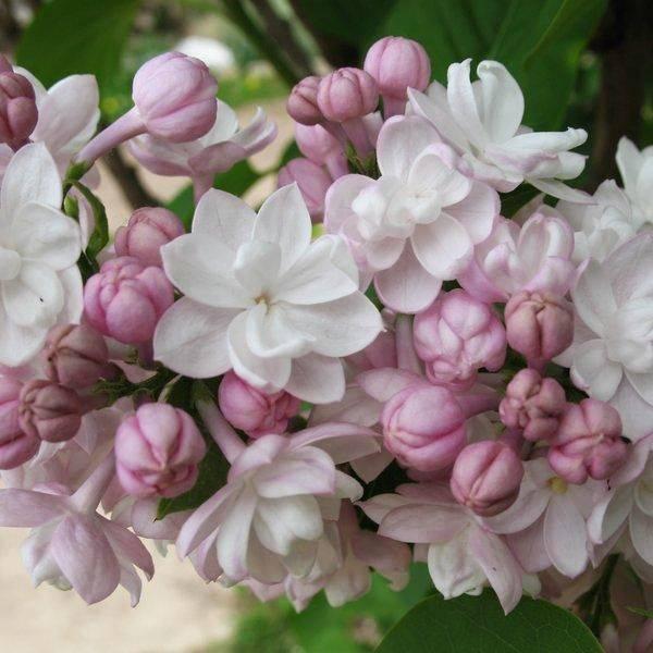 Сирень красавица москвы — описание moscow beauty, уход и посадка + фото цветущих растений в саду