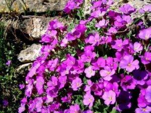 Фиалка: характеристика и правила выращивания цветка