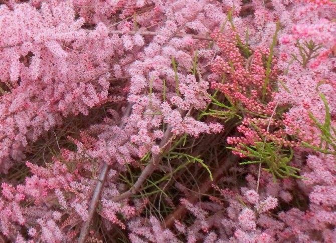 Тамарикс: посадка и уход в открытом грунте, размножение в саду, фото