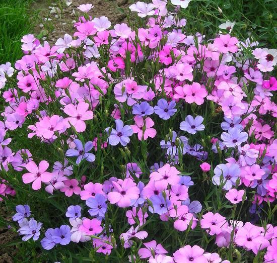 Вискария: выращивание из семян, посадка и уход, фото