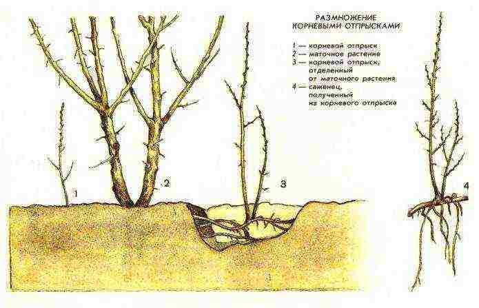 Растение ирга, посадка и уход, размножение и борьба с вредителями: фото, описание, видео инструкция