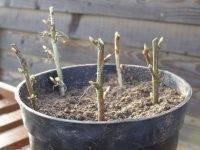 Боярышник: как вырастить в своём саду это прекрасное растение?