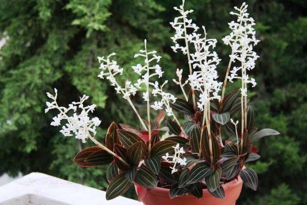 Цветок с «драгоценными» листьями — орхидея лудизия