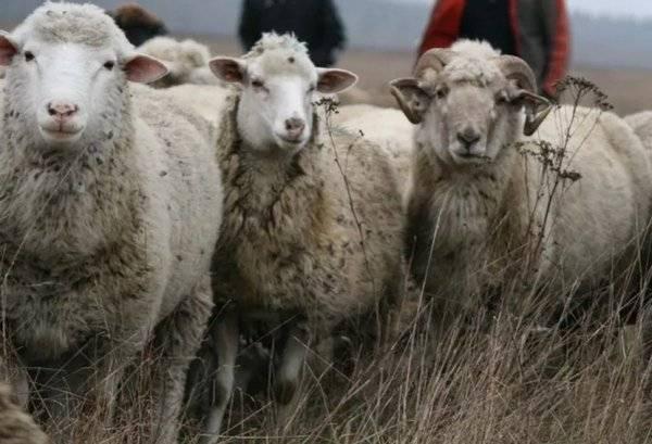 Цигайская порода овец: описание и характеристики