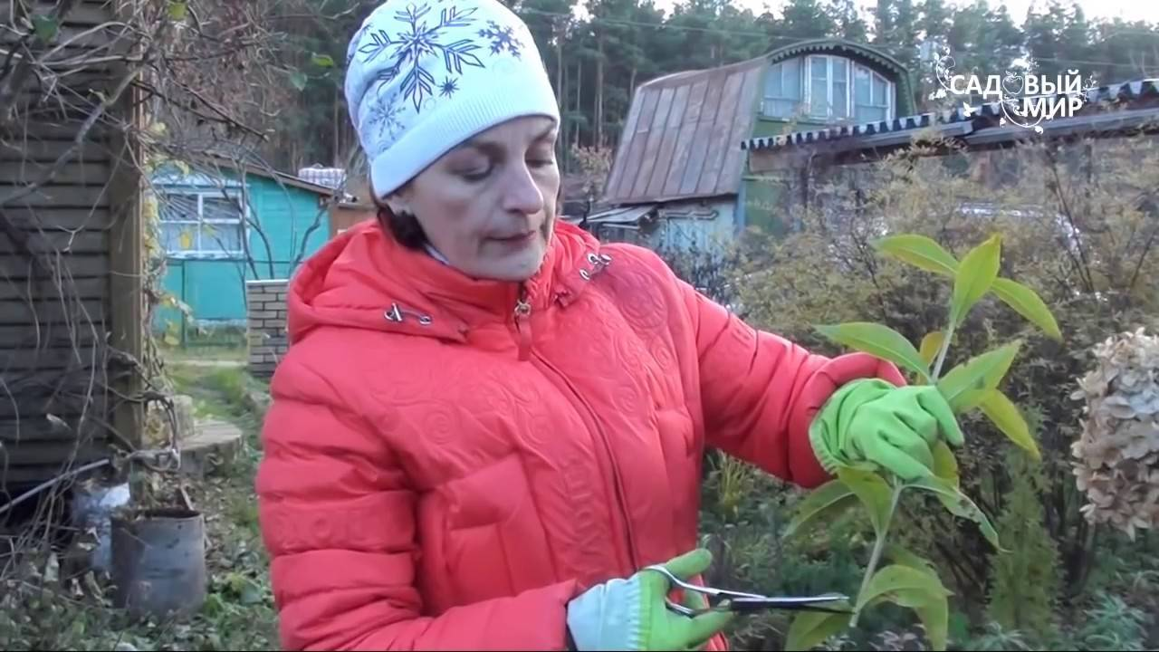 Выращивание гортензии на Урале — посадка и уход
