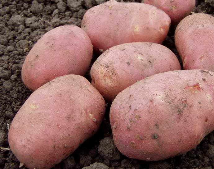 ᐉ сорт картофеля «романо» – описание и фото - roza-zanoza.ru