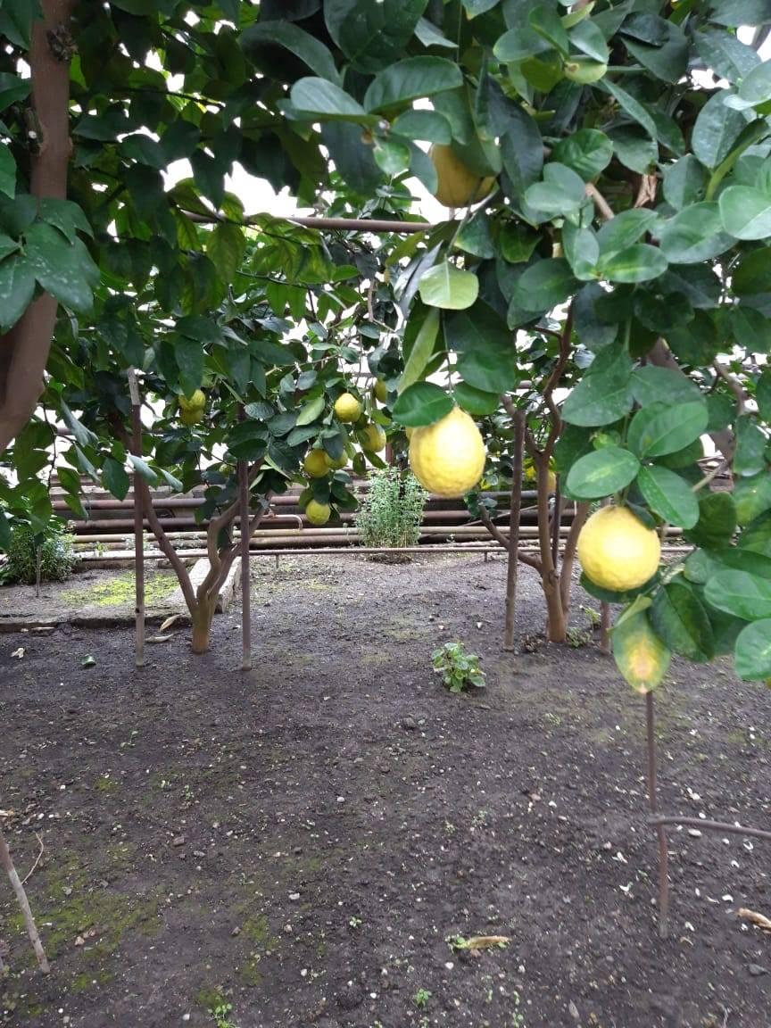 Лимон комнатное растение