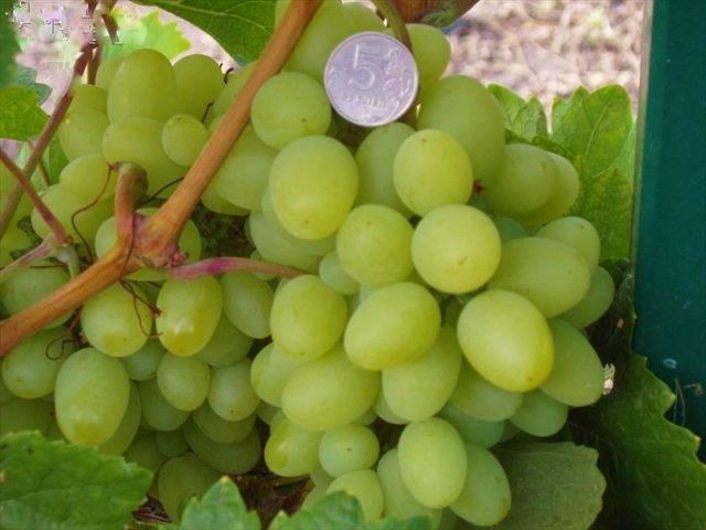 Виноград продюсер сеянец: описание сорта