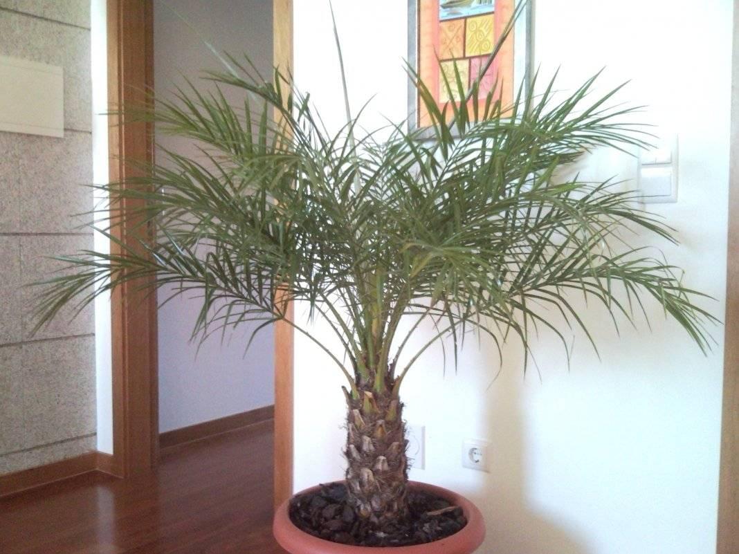Финиковая пальма в домашних условиях: уход, фото, нюансы посадки и пересадки selo.guru — интернет портал о сельском хозяйстве