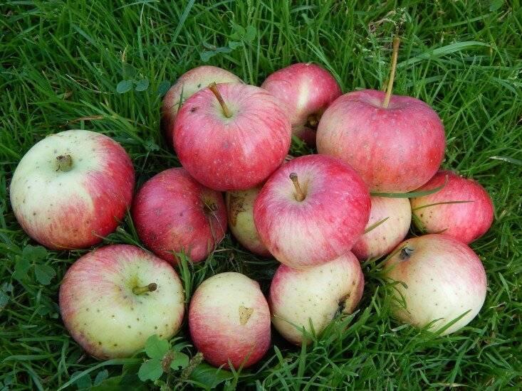 Описание популярных сортов яблонь, яблок | фото
