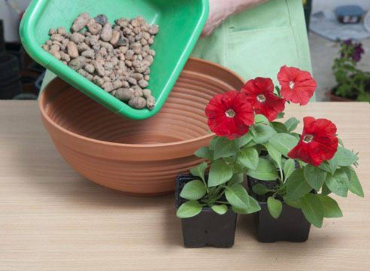 Выращивание ампельной петунии в кашпо