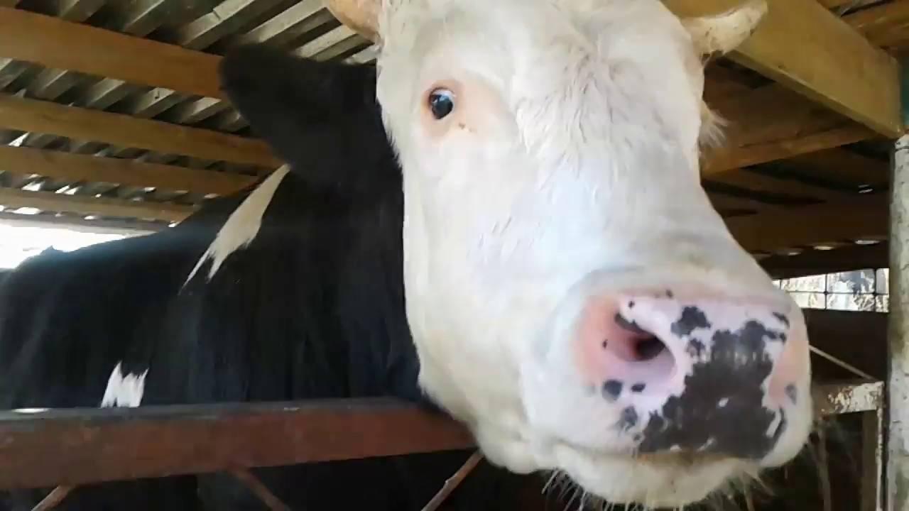 Разведение бычков на мясо, как бизнес: с чего начать, выгодно ли держать мини фермы, план, как поднять дело для начинающих в домашних условиях selo.guru — интернет портал о сельском хозяйстве