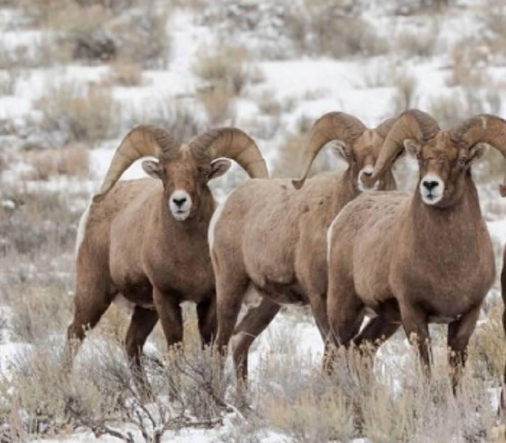 Снежный баран: происхождение, характеристика, внешнее описание, среда обитания, численность