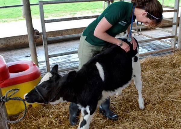 Чем нужно лечить суставы коров и телят - все о суставах