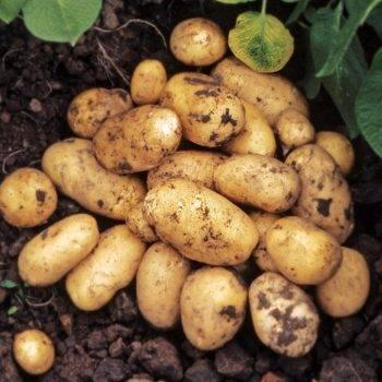 Германский сорт картофеля зекура для центральной россии
