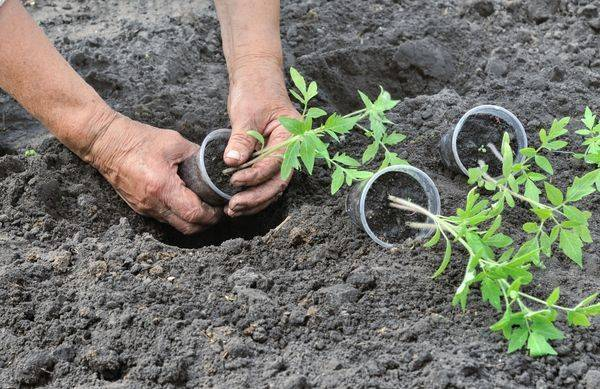 Когда пересаживать рассаду помидор в горшки   огородовед