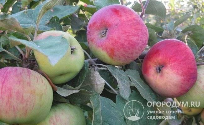 Описание сорта яблони ред чиф: фото яблок, важные характеристики, урожайность с дерева