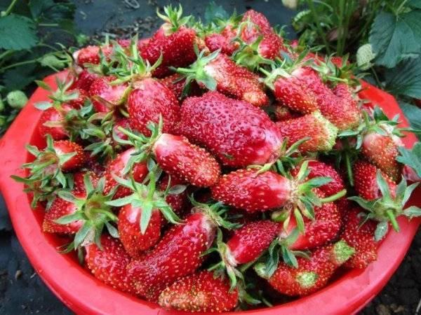 Земклуника купчиха: описание и характеристики сорта, особенности посадки и ухода за земклубникой + отзывы садоводов