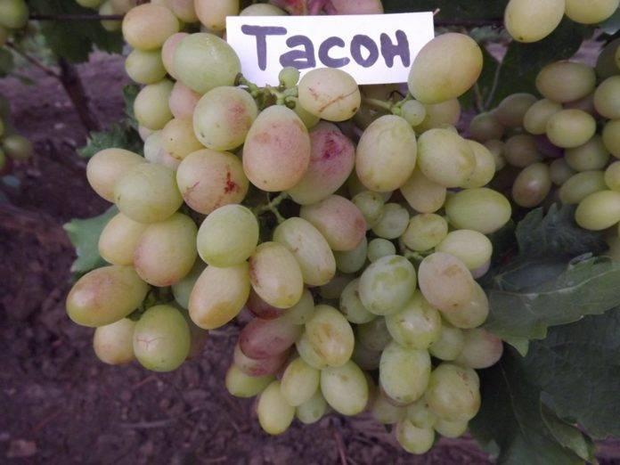Виноград московский белый — описание сорта, особенности ухода