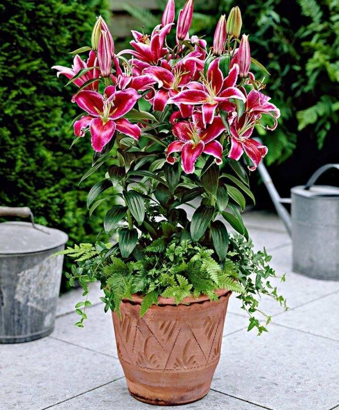 Комнатная лилия в горшке — название и как ухаживать за цветком в домашних условиях ?