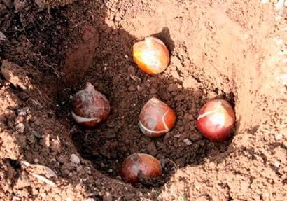 Когда и как сажать тюльпаны? 24 фото на какую глубину нужно высаживать луковицы в открытый грунт? сроки посадки в сибири. в какое время лучше высадить на урале?