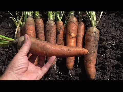 Сорт моркови королева осени — описание, фото, характеристика, особенности выращивания