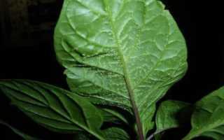 Пупырышки на листьях перца – на обратной стороне, белые, маленькие наросты, бугорки, что это