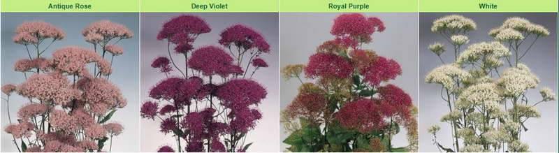 Гелиптерум акроклинум выращивание из семян посадка и уход в открытом грунте фото цветов