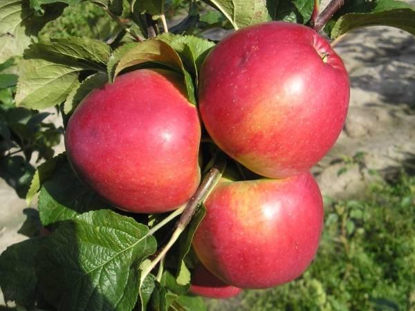 Яблоня медуница: описание сорта, фото, выращивание и уход