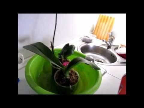 Чем и как полить фаленопсис для хорошего роста и красивого цветения?
