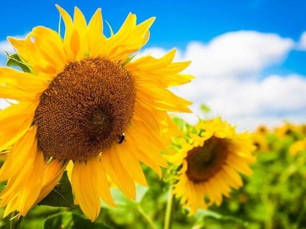 Выбор семян подсолнечника. критерии и правила ⋆ «премьер агро» — агропромышленный журнал