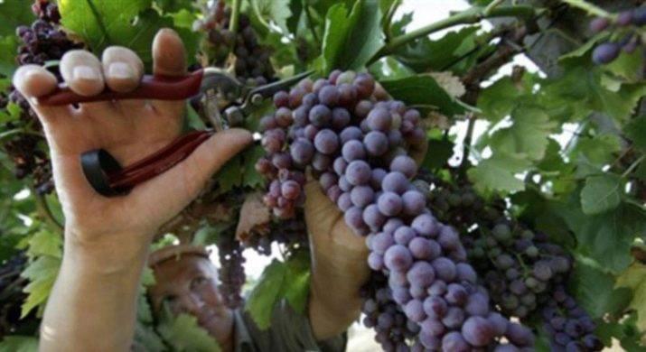 Описание сорта винограда краса никополя