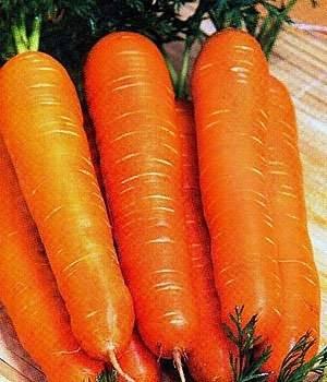 Морковь нантская 4: характеристика и описание сорта с фото, посев, уход и сроки созревания, а также возможные сложности при выращивании русский фермер