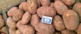 Картофель розалинд: описание сорта, фото клубней, отзывы о вкусовых качествах и сроках созревания, особенности хранения и характеристика урожайности