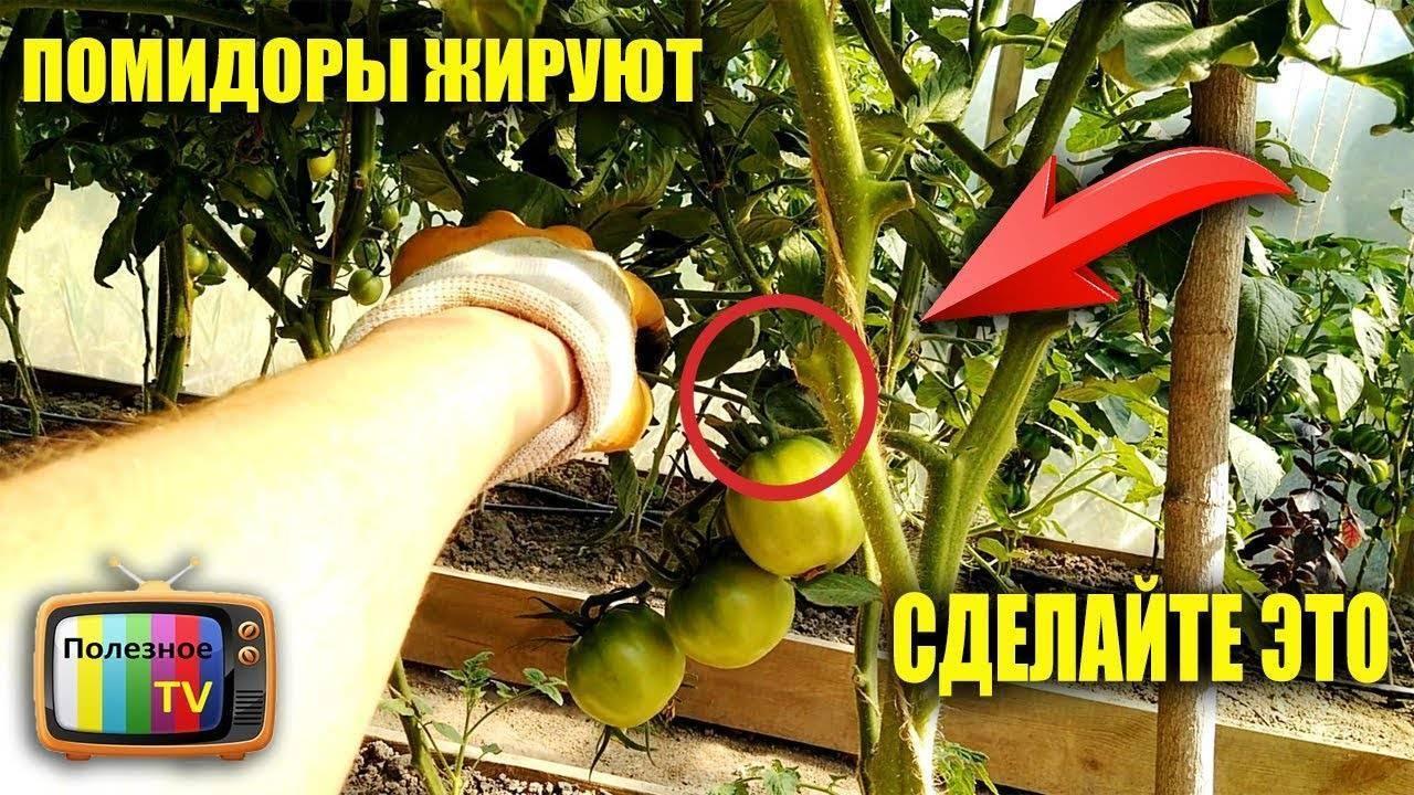 Что делать, когда помидоры жируют в теплице – 9 этапов решения проблемы и 5 советов по профилактике
