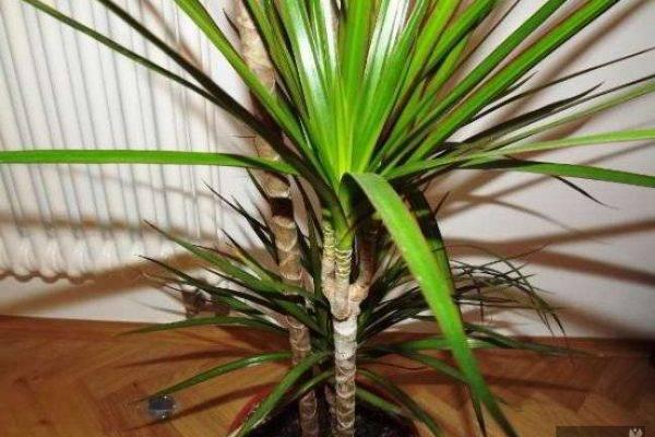 Драцена маргината: уход в домашних условиях ( +фото)