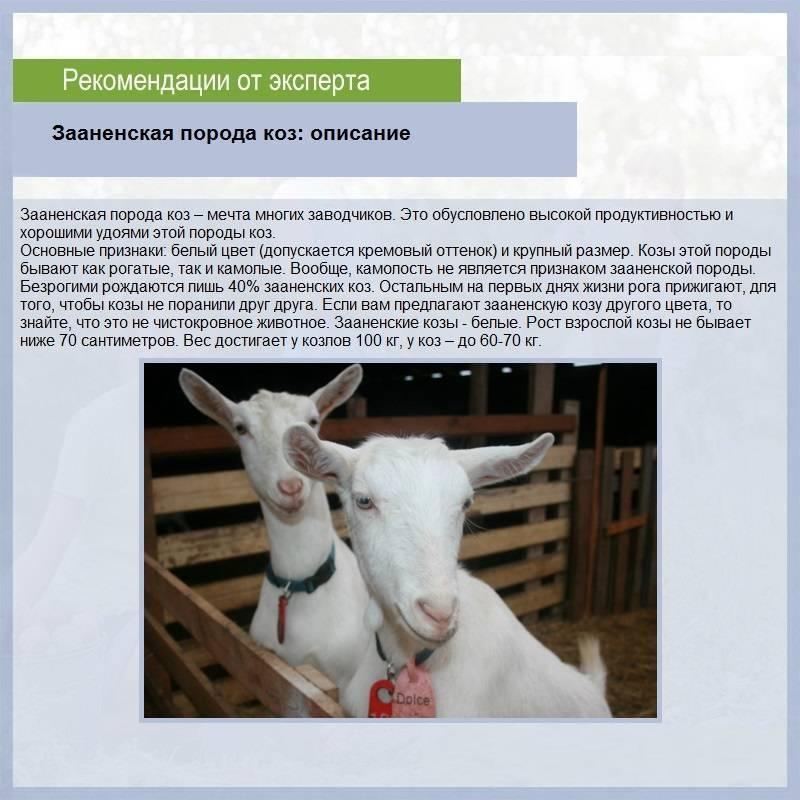 Зааненская порода коз - описание, содержание, особенности разведения