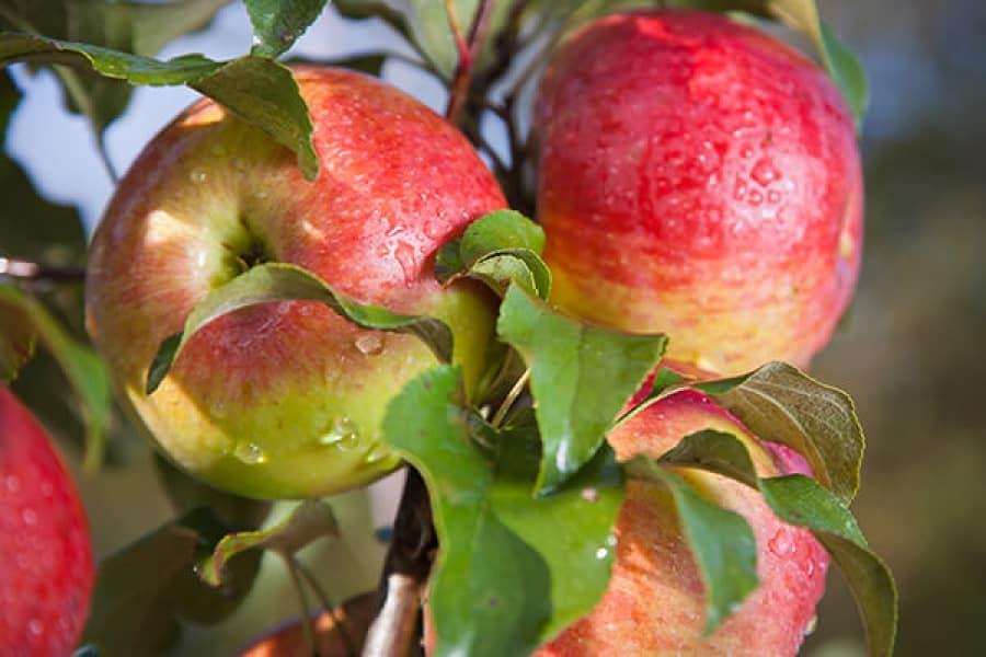 Яблоня мельба — подробное описание сорта, высаживание и уход