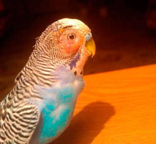 Орнитоз у голубей: заболевание с тяжелой формой респираторных нарушений