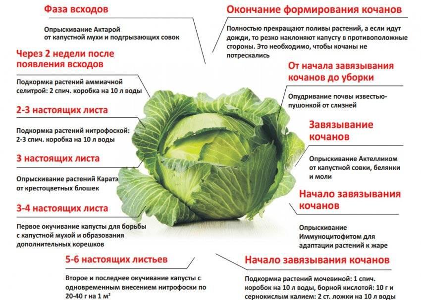 Выращивание капусты мензания