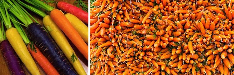 Выращивание моркови: как правильно выращивать и ухаживать