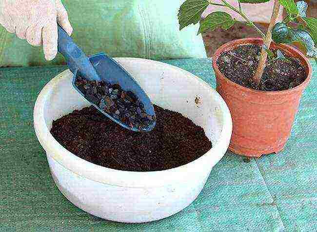 Посадка и уход за гибискусом травянистым, фото растения, культивирование в открытом грунте, а также выращивание из семян и размножение черенками русский фермер