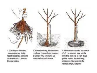 Посадка яблони весной саженцами: пошаговая инструкция, видео